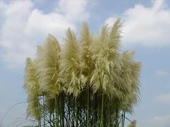 Pampas Grass (imayado) Tags: pampas grass ilikegrass
