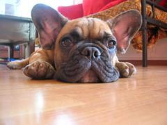 DSCN0955 (benster1970) Tags: puppy puppies alf bulldog frenchbulldog frenchbulldogs sxb bouledoguefrançais bouledogue