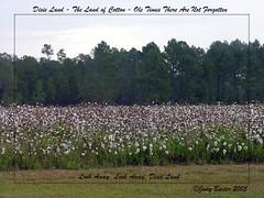 In Dixie Land Where I Was Born (Old Shoe Woman) Tags: usa georgia southgeorgia dilosep05 cotton cottonfield bollsofcotton agriculture rural seasons dilosept05