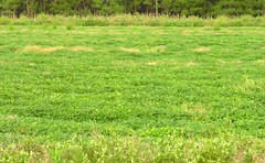 Peanut Field (Old Shoe Woman) Tags: usa georgia southgeorgia dilosep05 peanut crop agriculture peanutfield green plant dilosept05
