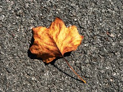 Vulnerable (Sully Pixel) Tags: fall autumn leaf pavement contrast seasons orange yellow fantastic catchycolors ilovenature supercolored urbannature oneleaf leaves