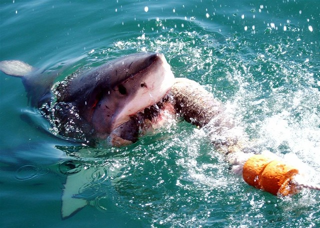 Image of a shark