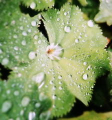 rainy day in October (SophieMuc) Tags: green nature waterdrops rain frauenmantel ilovenature macro wow