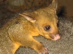 Baby Possum (February baby)