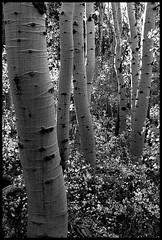Aspens5BW (Dale Allyn) Tags: aspens fall autumn sierras trees blackandwhite bw canon20d 1022mm