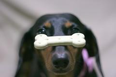 cocoa #32 Happy Birthday!! (nao-cha) Tags: birthday dog animal animals dof dachshund cocoa