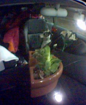the dashboard cactus taunts bocce