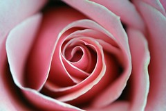 Appreciation From My Heart!! (CharlieBrown8989) Tags: pink rose closeup yahoo droplets interestingness flickr herbs picasa best explore raindrops macros charliebrown8989 corel dews charliebrown8989smacro paintshopprox