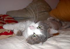 porri7a (Fantasyfan.) Tags: cats pets animals topv111 wow kittens elimet kissat lemmikit prri kissanpennut fantasyfanin