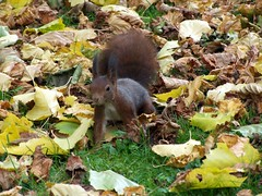 Watchful (Mediachaos) Tags: squirrel autumn leaves ilovenature hoppenlau hoppenlaufriedhof stuttgart germany badenwuerttemberg creature cute