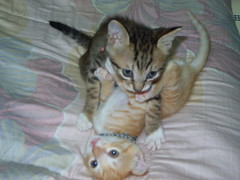 lusty youngsters at play (jacky elin) Tags: cats 2004 cat mix tabby kittens lin jacky