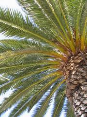 Palm Tree - by Peter Kaminski