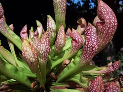 Unknown Sarrisenia Hybrid (rkoshak) Tags: carnivorous plants
