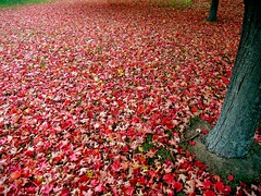 Tapis d'Automne (code poet) Tags: autumn red tree fall topf25 beautiful leaves topv111 topv2222 wow maple topf50 topv555 topv333 topf75 topv1111 topv999 100v10f topv5555 500v50f topv777 1000v100f topv3333 topv4444 topv6666