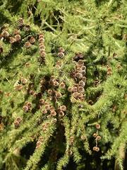 Cones on European Larch (Larix decidua) (j13art) Tags: cones larch larix decidua