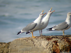 Gaivotas cantoras / Singing gulls (1) (Pyconotus) Tags: seagulls birds gull gulls birdsinportugal avesemportugal gaivota breedingplumage laruscachinnans yellowleggedgull larusmichahellis laruscachinnansmichaehellis gaivotadepatasamarelas caborraso naturewatcher