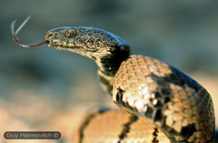 Cat Eyed Snake (Telescopus fallax) עין חתול חברבר
