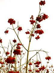 Berries (sjon) Tags: autumn sky white berries top20fav