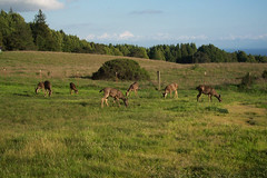 grazing deer on the college campus (I, Puzzled) Tags: trees santacruz green grass landscape view montereybay deer pasture vista ipuzzled grazing ucsc universityofcalifornia universityofcaliforniasantacruz scphoto