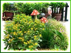 Melampodium divaricatum (Butter Daisy) in our garden border, taken Sept. 2004