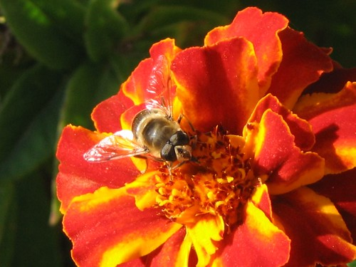 A bee on a red flower by Amir.S..
