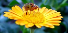 weird fly (Alex Vinter (aka Wam Mosely)) Tags: weird fly macro nature bug insect flower garden tag1 tag2 tag3 taggedout
