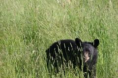 Mama Bear_2286 (ru_24_real) Tags: mooe deer porcupine beaver marten squirrel coyote lynx rabbit fox buffalo wapiti elk caribou