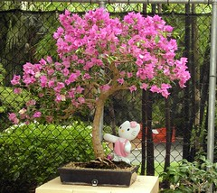 Kitty and the Tree (Kitty White) Tags: pink tree hellokitty bougainvillea bonsai bestofkitty