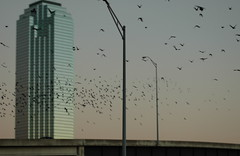 Birds of Dallas (Citizen Rob) Tags: dallas texas
