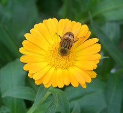 fly-wasp-bee mutant (Alex Vinter (aka Wam Mosely)) Tags: fly wasp bee mutant macro flower closeup top20nature