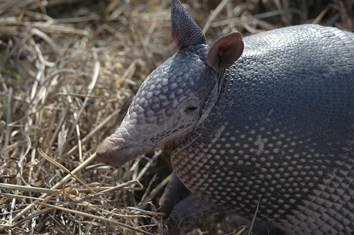 Armadillo. by Rich Anderson, on Flickr