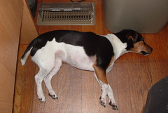 Life is Tough (mroyal43) Tags: dog jackrussell terrier pet