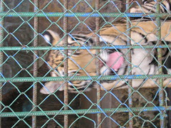 P1010799 (that_girl) Tags: vietnam animal cruelty