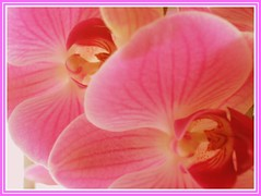 Orchid Abstract (Vanda's Pictures) Tags: pink abstract orchid 1 saturated glow oneonone