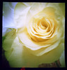 Pinhole Rose