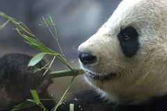 panda (jetrotz) Tags: zoo panda screensaver january 2006 bamboo eat zooatlanta