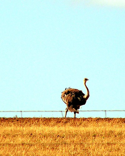 Volstruis / Ostrich