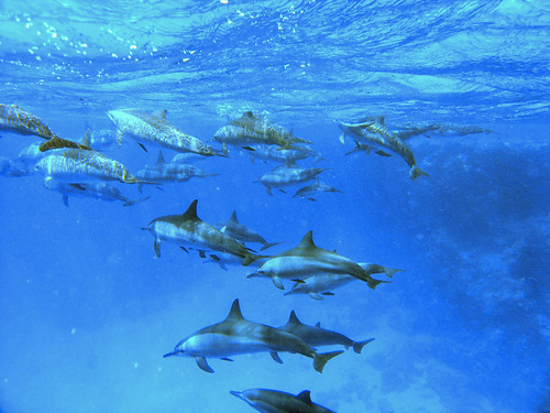 Dolphins (Red Sea)