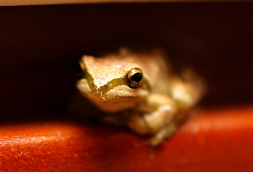tree frog ... in our kitchen