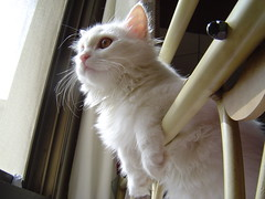happy furry Friday! (Maha AlYousif) Tags: pet white cat eyes furry kitten lulu sweet kitty fluffy fav cutecat top20cute