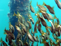 More fish under Busselton jetty (Princess_Fi) Tags: westernaustralia busselton