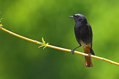 Rabirruivo-preto (PauloSantos) Tags: male bird portugal nature birds fauna 1025fav ilovenature colours wildlife birdsinportugal avesemportugal aves 100v10f 600v wildanimal f22 ornithology birdwatching d60 phoenicurusochruros blackredstart 333v3f top20birdshots rabirruivopreto