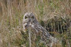 Short-eared Owl, Valsneset, Norway (jssbirdman) Tags: jordugle