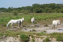 Wild Horses Camargue in France - Frankreich