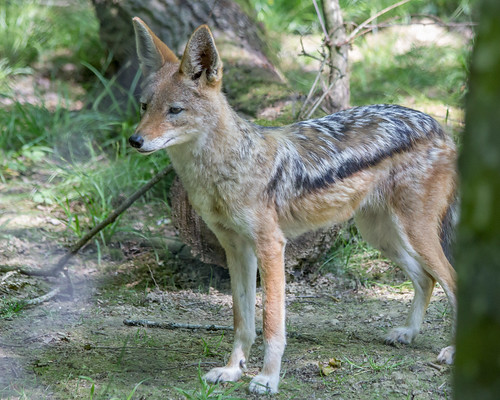 Black-backed jackal \ Schabrackenschakal