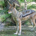 Black-backed jackal \ Schabrackenschakal