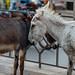 Street Donkeys