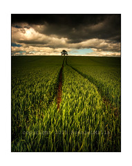 Lineage (RonnieLMills) Tags: wheat field lone tree moody skies cloudy flat horizon farming agriculture tractor tracks lineage ronnielmills nikon d90 tamron 1024 wide angle landscape ballystockart road gransha autofocus swingers