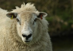 Here's looking at you... (zapperthesnapper) Tags: uk portrait wool animal rural sheep cumbria stare wooly farmanimal