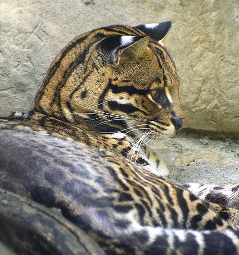 Louisville Zoo 08-26-2014 - Ocelot 11
